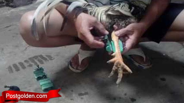 Gunakan Teknik Ini Untuk Besarkan Otot Ayam Jago