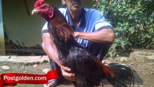 Mari Kenali Cara Perawatan Ayam Sebelum Bertanding