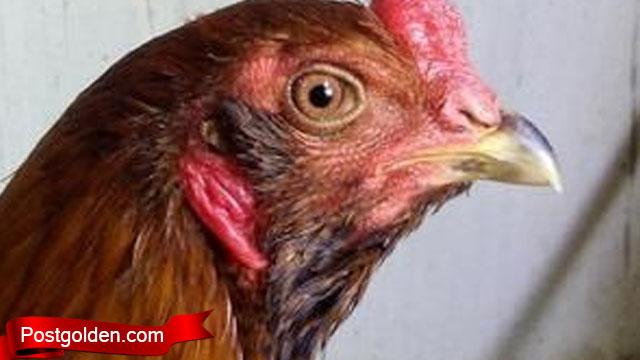 Mari Lebih Tau Apa Itu Ayam Brewok Super