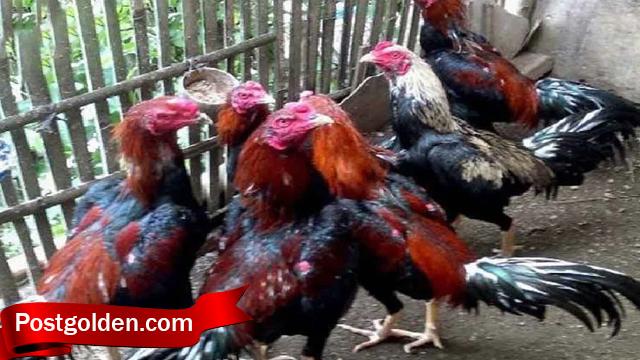 Mari Ikut Langka Untuk Ternak Ayam Bangkok Sukses