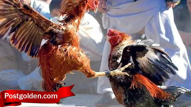 Mari Lebih Mengenal Jurus Bongkar Ayam Bangkok